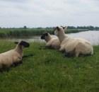 sheep-819700_640