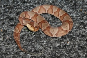 A Copperhead. (C) Greg Hul, Flickr Creative Commons