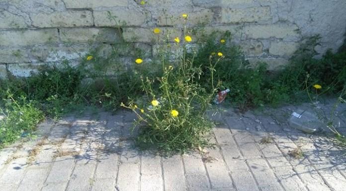fiori gialli andrea auletta