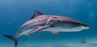Australie : Un drone filme 70 requins dévorant une baleine