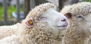 Pays-de-Galles : Des moutons défoncés aux cannabis