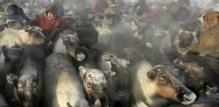 Sibérie: le réchauffement climatique provoque une épidémie d'anthrax