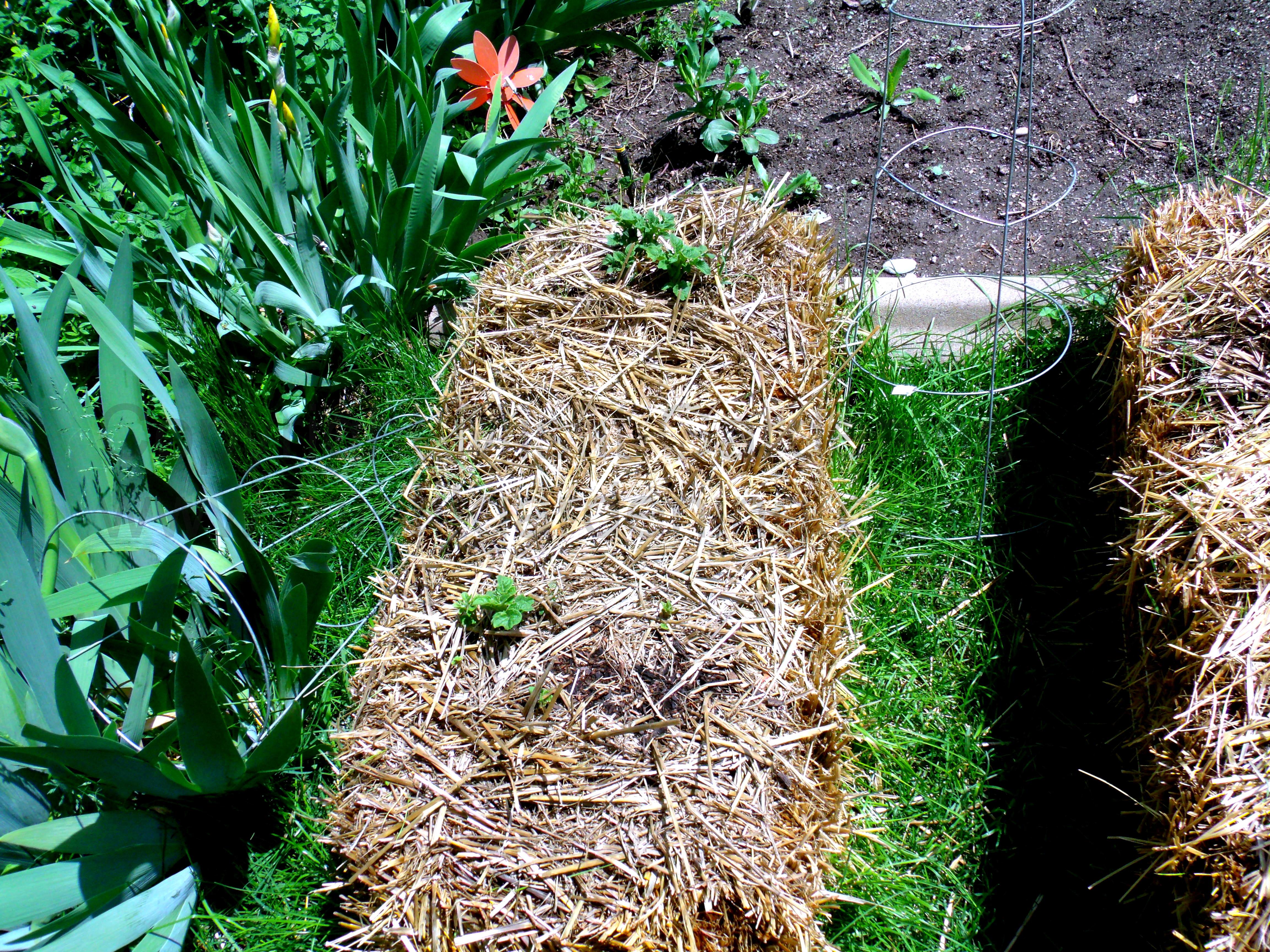 Hay Bale Garden Update Misfit Gardening
