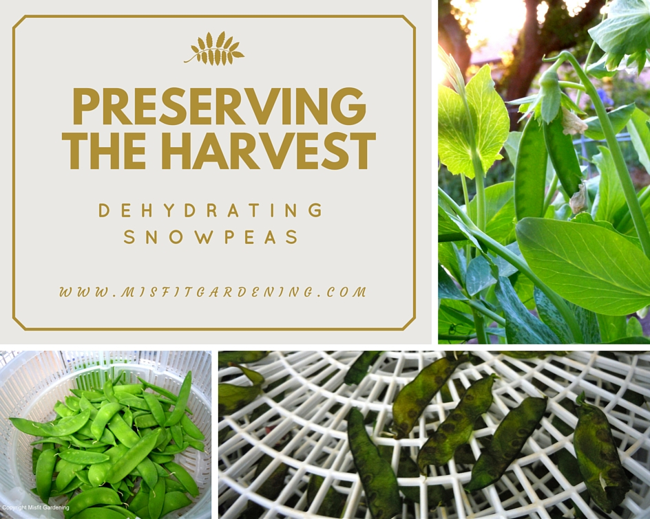 Dehydrating Snow Peas: How To Make Snowpea Chips
