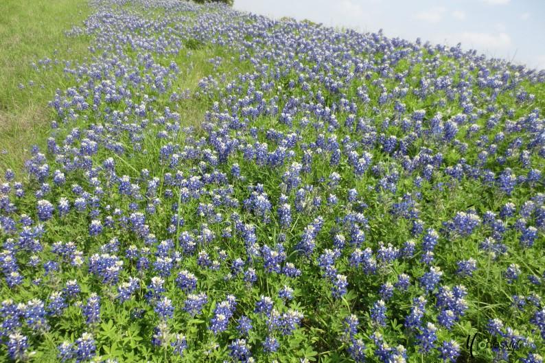 #blubonnets#texas bluebonnets