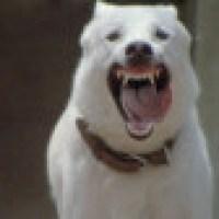 O cão branco que precisa de cuidados especias