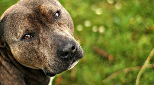 9 Things Guys Should Know Before Getting a Dog pit bull