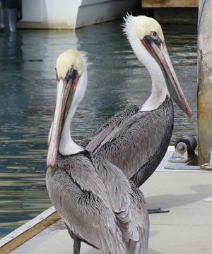 Mexican Pelicans