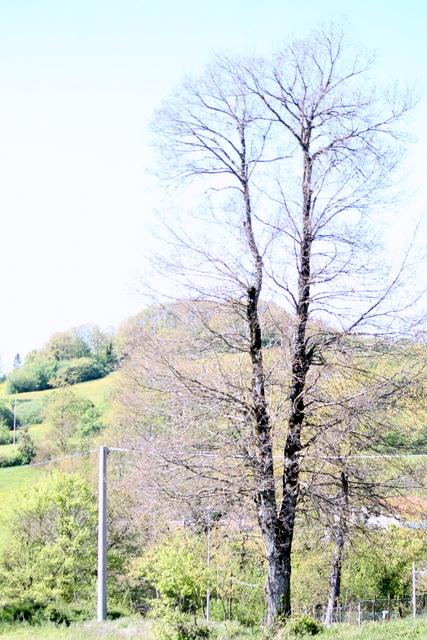 L'albero senza foglie per la gelata tardiva di fine aprile 2016