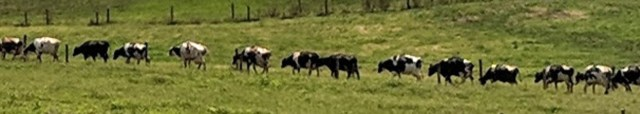 cows-in-line_20180729_1205372