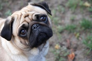 moneymagpie_Make money from pet sitting and pet boarding_pug-dog