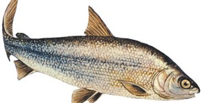 Lake_Whitefish_l