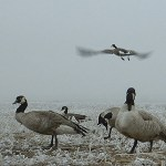 Waterfowl season opens with a bang Saturday