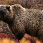 Problem Grizzly Captured and Killed Southwest of Whitefish
