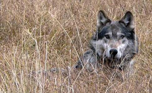 wolf grass