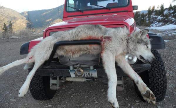 Wolf Killed Near Alberton, Montana