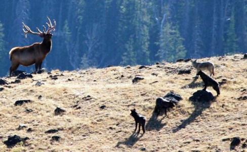 elk wolf
