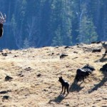 Support Needed For Montana Wolf Management-Trapping Meeting Tomorrow In Helena