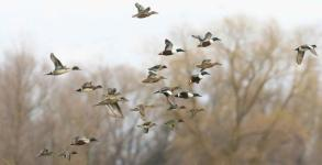 mixed-ducks-in-flight_w725_h484