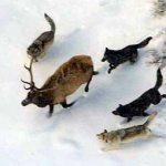 Montana&#8217;s FWP&#8217;s New Wolf Trapping Plan Draws Huge Response from the Public