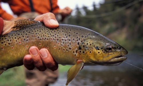 Bozeman Area Fly Fishing Report