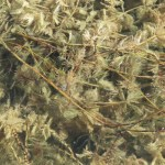 Weed Management of Eurasian Watermilfoil: Brett French Radio Show Preview