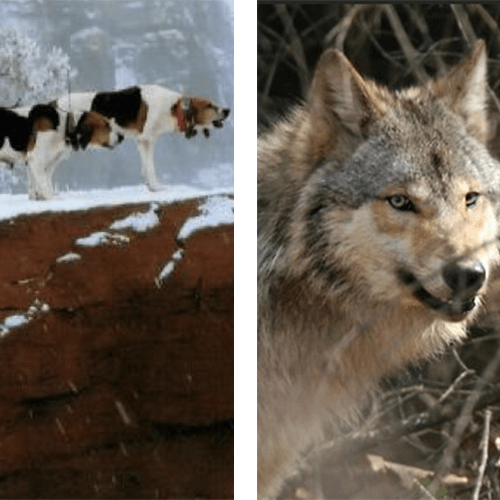 Wisconsin Judge Puts Wolf Hunting With Dogs On Hold