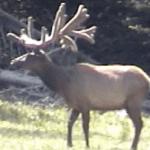 Huge Bull Elk Velvet