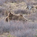 Two Grizzly Bears Captured Southeast of Red Lodge