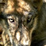 Wolf Trapping Certification Classes Mandatory for Wolf Trappers, Optional for Public