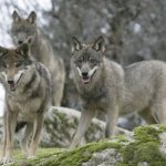 Wolf Hunting Season in Jeopardy in Great Lakes Region &#8211; Captain&#8217;s Column