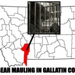 BEAR MAULING IN GALLATIN COUNTY