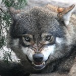 Montana Wolf Hunting and Trapping Regulations Refresher
