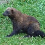 TEMPORARY RESTRAINING ORDER DELAYS WOLVERINE TRAPPING SEASON