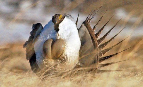 WYO122911-grouse.jpg