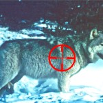 FWP Seeks Comment on Wolf Trapping and Hunting Closure Near Gardiner