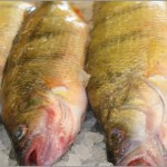 Perch Pounder Fishing Tournament 3rd Week Results!