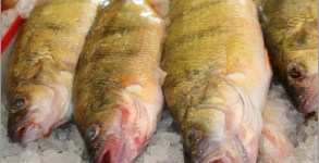yellow-perch