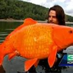 Monster Gold Fish Invade Lake Tahoe