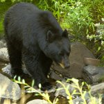 Bear Hunting Tips by Joe Kondelis of Yellowstone Country Bear Hunters Association &#8211; 4.20.13