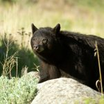 Bear Hunting Tips by Joe Kondelis of the Yellowstone Country Bear Hunters Association &#8211; 4.13.13