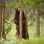 Bear Hunting Tips by Joe Kondelis of the Yellowstone Country Bear Hunters Association &#8211; 4.27.13