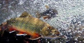 brook-trout-hyalite-creek-montana-fly-fishing-photo