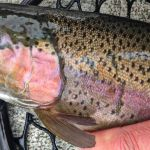 Rampant Rainbows-Montana Spring Fishing:  Captain's Column