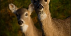 two-White-tailed-Deer-D3S2319