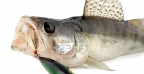 6251118-fish-walleye-zander-isolated-on-white-background