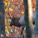 Montana Nonresident Deer and Elk Combo Hunting Licenses Available TODAY!