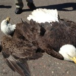 Crash Landing for Two Bald Eagles on Airport Runway