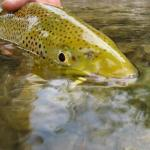 Rock Creek Fly Fishing Good But Not Great Yet