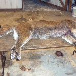 Female Mountain Lion Hunting To Close In Districts 313 And 316